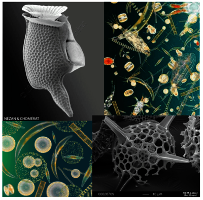 Phytoplankton and zooplankton as seen under the microscope.